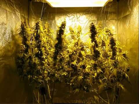 600W Hydroponic DWC Cannabis Grow   23oz Harvest