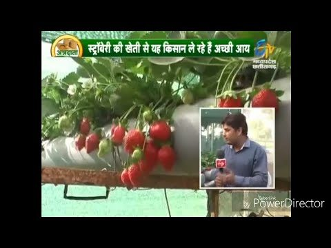 Hydroponic strawberry farming