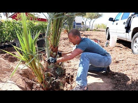 #1 Fruit Tree for HOT Backyard Gardens | Grow Your Own Dates – Amazing!