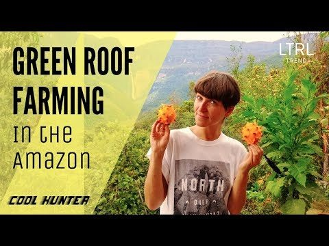 GREEN ROOF FARMING IN THE AMAZON – Dragon Fruit Harvesting