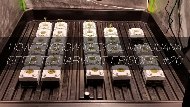 How to Grow Medical Marijuana Seed to Harvest E20   Hydroponics in Rockwool