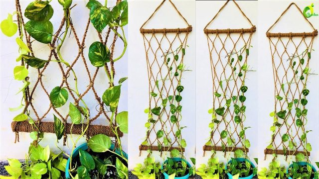 money plant/ money plant growing style/money plant wall decor/organic garden