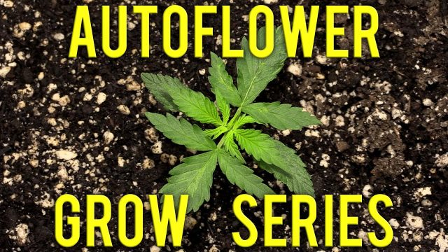 ORGANIC AUTOFLOWER GROW SERIES EPISODE 2!