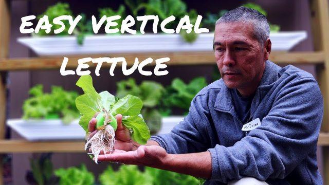 Easy Hydroponic Lettuce / Easy DIY Hydroponics Systems/Vertical Lettuce Growing /Urban Garden