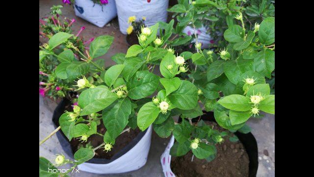 मोगरे का पौधे को ग्रो बैग में कैसे लगाए HOW TO GROW MOGRA PLANT IN GROW BAGS