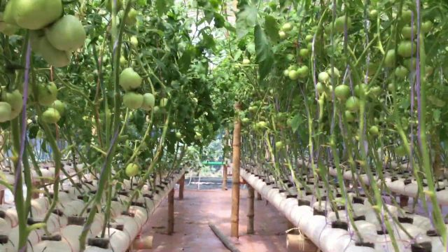 Hydroponic Growing System at Chittagong Bangladesh (Md.Mozammel Hossain Shahed)