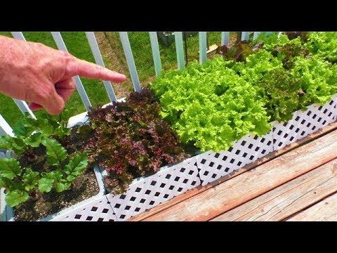 Container Garden May 4th UPDATE Harvest Lettuce Organic vegetable gardening how to grow