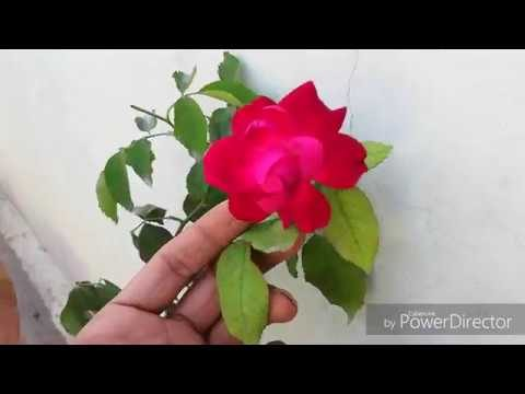 Care Of Roses in hot Summers, Garmio mein Gulab ki Care.