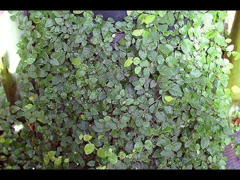 How to Plant and Take Care of Creeping Dollar Plants for Wall Decorative Plants