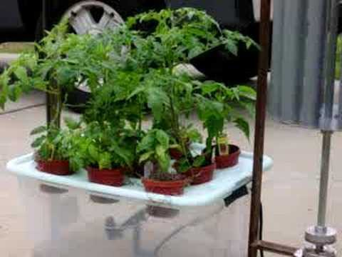Wind-Powered Aeroponics System – Day 8 Buds