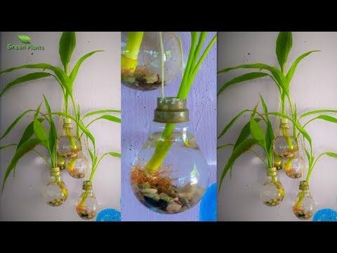 Lucky Bamboo Growing In Old Light Bulb | Wall Hanging Old Light Bulb Planter //GREEN PLANTS