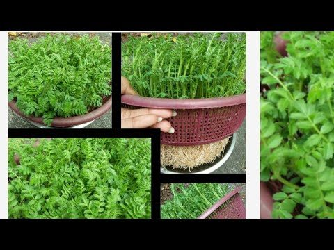 Just 7 day || hydroponic method at home || bina mitti ke methi kaise ugay || Chana || Mutur ||