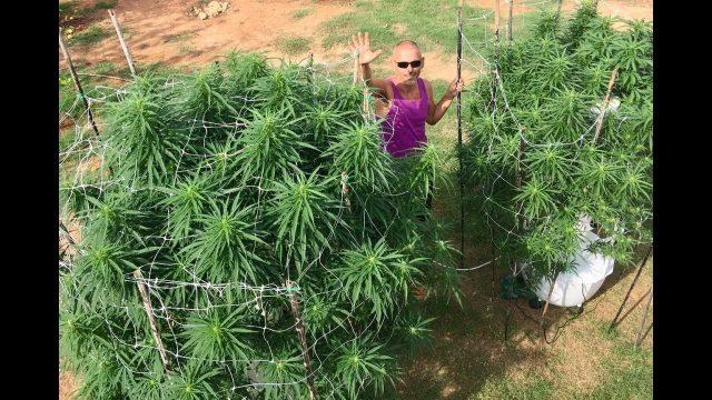 Growing Aeroponic Cannabis Clones on a Tower Garden | Aeroponic Marijuana Clones