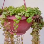 How to cut and care Succulent Swedish Ivy (Tangled Hearts)- Hanging Plant Care