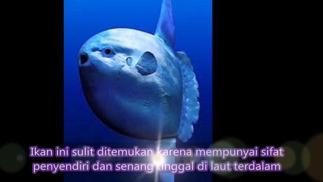 Mola Tecta, Ikan Mola Mola Spesies Baru