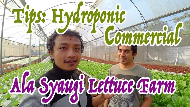 Tips Hydroponic Commercial – Syaugi Lettuce Farm
