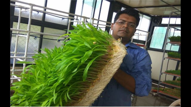 Ashwin Sawant | Results of my Hydroponic Nutrients on Hydroponic Fodder