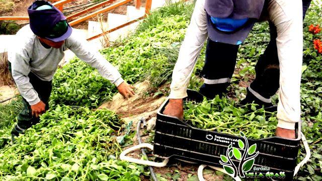 villagrass peru , plantas cubre suelos, jardín vertical,grass artificial,viveros, jardín,paisajismo