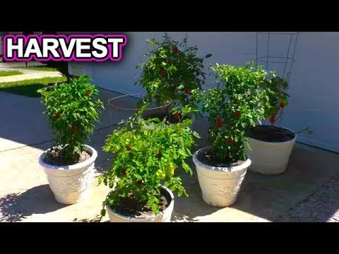 How to Grow a Vegetable Garden at Home HARVEST June 14th Update container gardening