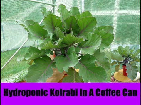 Hydroponic Purple Kolrabi In A Coffee Can
