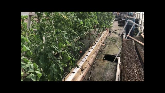 Hydroponic Rain Gutter Tomatoes