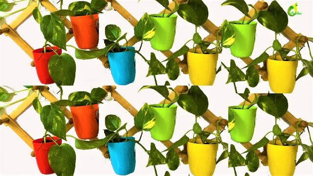 money plant hanging idea/wall decoration money plant/money plant growing idea/ organic garden