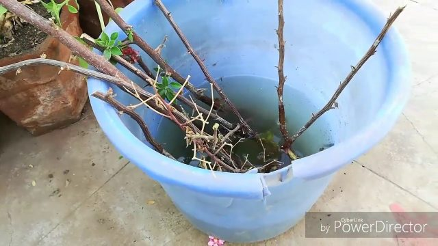 Bouganvaille ki Cuttings Successfully Grow kare with results