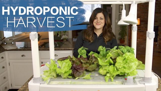 Hydroponic Harvest // Garden Answer