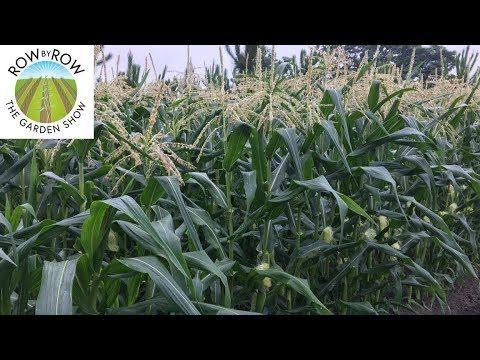 The Best Corn Varieties to Grow in a Vegetable Garden