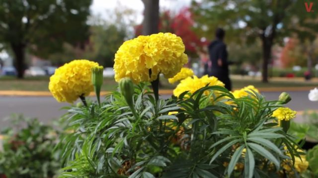 Community Gardens for Education at Vanier College