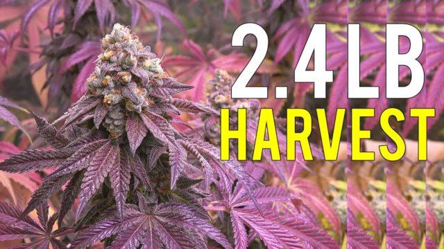 2.4 LB CANNABIS HARVEST! INDOOR MEDICAL MARIJUANA GROW