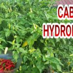 Cabai Hidroponik (chili hydroponic) Part #4