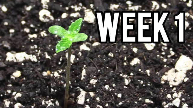 WEEK 1 GROWING AUTOFLOWER CANNABIS INDOORS!
