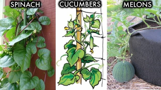 6 Climbing and Vining Vegetables You Can Grow In Containers