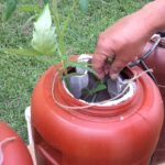Hydroponic system for growing tomatoes part 2