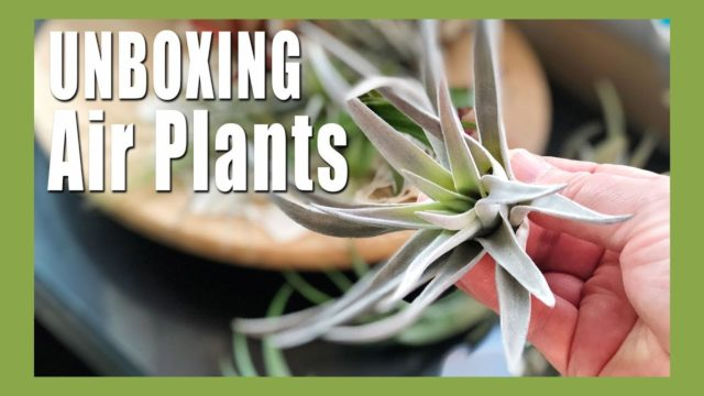  Air Plant Unboxing | Air Plant Care | Indoor Gardening 