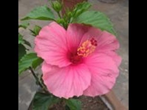 REPOTTING HIBISCUS IN MONSOON IN HINDI