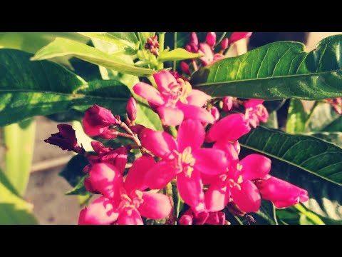 Summer Flowering Plant Mera Naya Jatropha Plant.