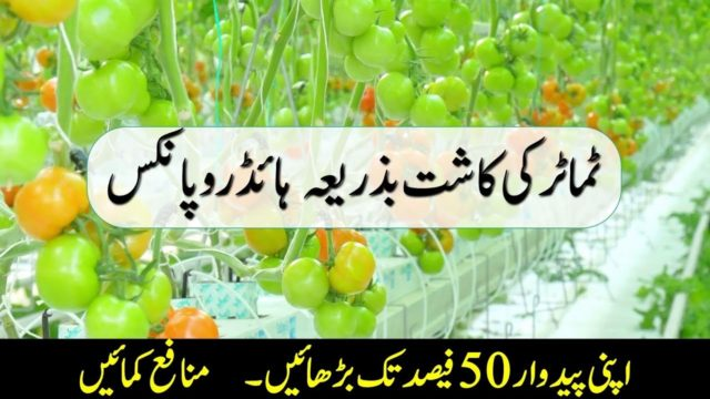 Hydroponic Farming – Increase Tomato Production by 50%