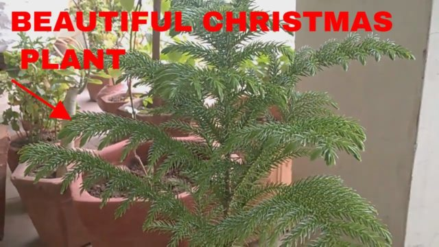 ARAUCARIA PLANT(CHRISTMAS TREE) in pots