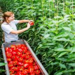 Awesome Greenhouse Bell Pepper Farming – Modern Agriculture Technology