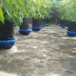 Cabe hidroponik sistem mangkok | grow papper Hydroponic simple at home #INAelection0bservesSOS
