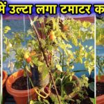 उल्टी बोतल में लगाए टमाटर का पौधा – l Vertical gardening l How To Grow Tomato Plant In Bottle Update