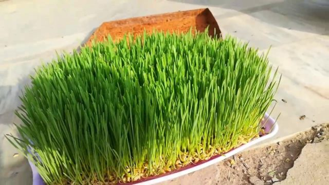 Hydroponic Fodder in Pakistan in Urdu / Hindi / How to Grow Fodder Without Soil / matti k Bina chara