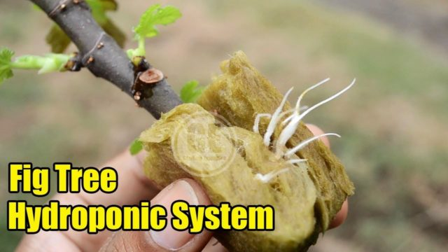 Growing Fig From Cuttings With Hydroponic System