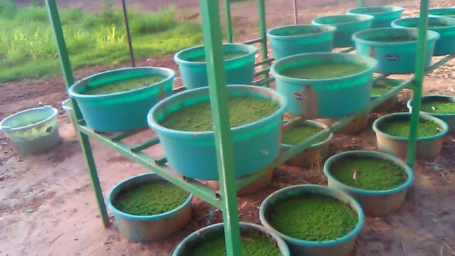 Azolla seed ajola seed  ajola farming azolla cultur #Azolla #Ajola #अजोला #एजोला
