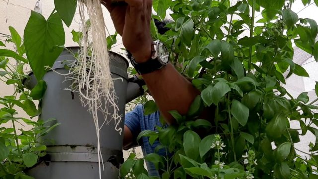 Hydroponic Aerotower root system