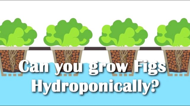 Can you grow Figs Hydroponically? 2nd Try at.