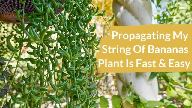 Propagating A String Of Bananas Plant Is Fast & Easy / Joy Us Garden