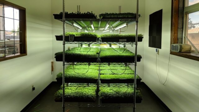 Indoor Microgreen Farm (100 flats a week)